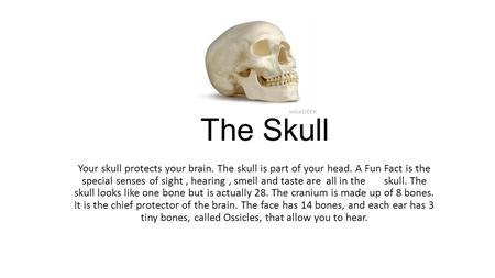 The Skull Your skull protects your brain. The skull is part of your head. A Fun Fact is the special senses of sight, hearing, smell and taste are all in.