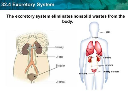 32.4 Excretory System The excretory system eliminates nonsolid wastes from the body. skin lungs kidneys ureters urinary bladder urethra.