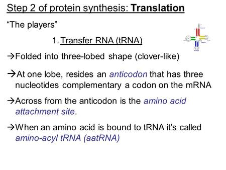 "Step 2 of protein synthesis: Translation ""The players"" 1.Transfer RNA (tRNA)  Folded into three-lobed shape (clover-like)  At one lobe, resides an anticodon."