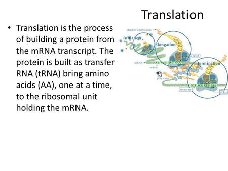 Translation Translation is the process of building a protein from the mRNA transcript. The protein is built as transfer RNA (tRNA) bring amino acids (AA),