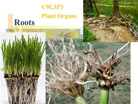 Roots C9L3P3 Plant Organs. Types of organs in plants Roots Stems Leaves.