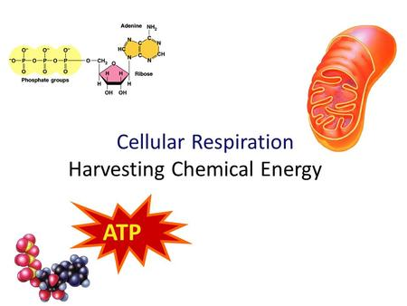 2007-2008 Cellular Respiration Harvesting Chemical Energy ATP.