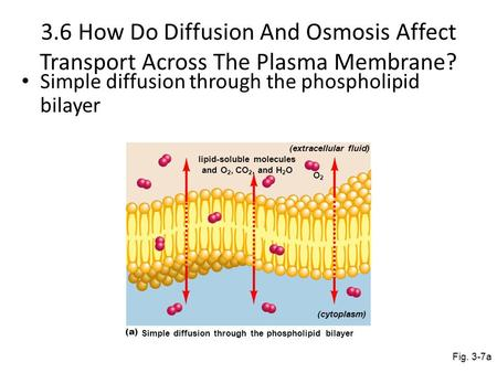 3.6 How Do Diffusion And Osmosis Affect Transport Across The Plasma Membrane? Simple diffusion through the phospholipid bilayer Fig. 3-7a Simple diffusion.