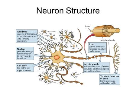 Neuron Structure. Synapse The Synapse 1.Synthesis of neurotransmitter (NT) 2.Storage and transport of NT within vesicles 3.NT Release 4.Activation of.