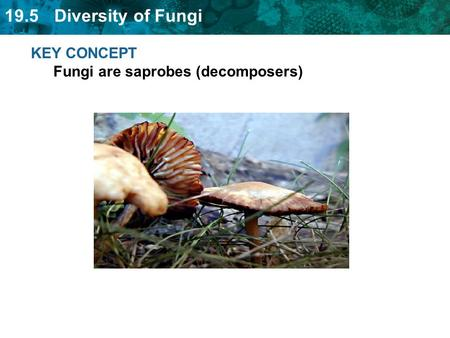 19.5 Diversity of Fungi KEY CONCEPT Fungi are saprobes (decomposers)