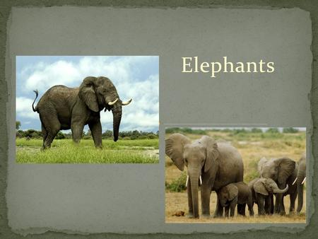 Elephants. Branches Grass Leaves Bark Roots Fruits Berries Elephants eat by using their 4 molar teeth to grind up food.