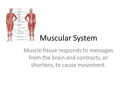 Muscular System Muscle tissue responds to messages from the brain and contracts, or shortens, to cause movement.