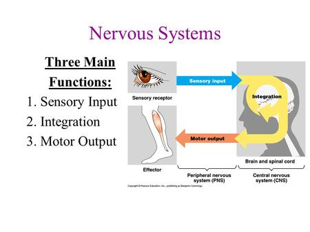 Nervous Systems Three Main Functions: 1. Sensory Input 2. Integration 3. Motor Output.