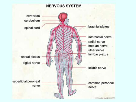 "Structure of a nerve Nerves and Nerve impulses ""Nerve impulse: a self-propagating wave of electrical disturbance which travels along the surface of a."