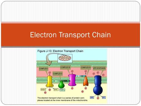 Electron Transport Chain. NADH and FADH 2 are __________________ These electrons are transferred to a series of components that are found in the inner.