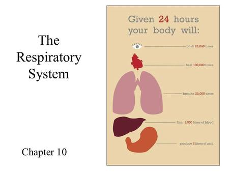 The Respiratory System Chapter 10. Organs of the Respiratory System Nose Pharynx Larynx Trachea Bronchi Lungs.