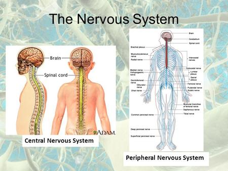The Nervous System Central Nervous System Peripheral Nervous System.