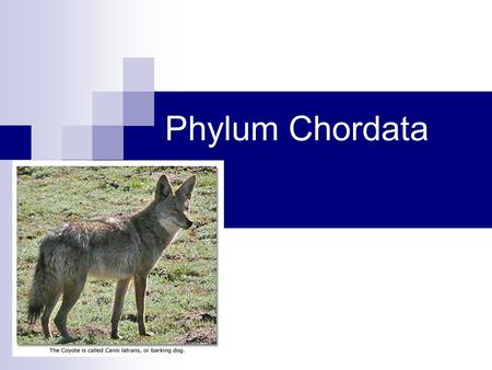 Phylum Chordata. There are three basic characteristics that distinguish phylum Chordata from all other animal phyla: (1) The presence of a flexible, rod-like,