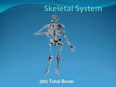 206 Total Bones. Function: Provides shape and support Aids in movement Protects internal organs Produces Red Blood Cells Stores Minerals such as Calcium.
