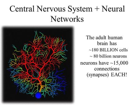 Central Nervous System + Neural Networks The adult human brain has ~180 BILLION cells ~ 80 billion neurons neurons have ~15,000 connections (synapses)