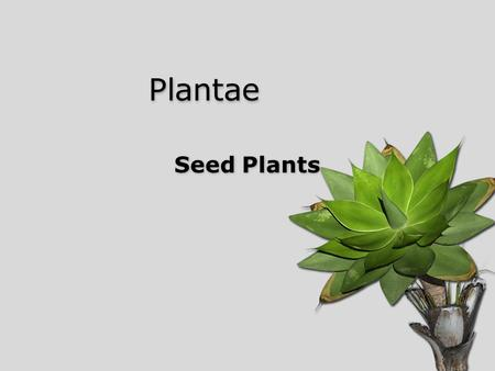Plantae Seed Plants. Vascular Plants Formation of vascular tissue –Xylem (water) –Phloem (food) –True leaves, roots, and stems Lignin ____________ generation.