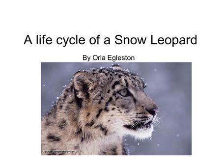A life cycle of a Snow Leopard By Orla Egleston. Birth Birth is when the mother gives birth and produces new life. A snow leopard does not open it's eyes.