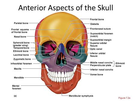 Anterior Aspects of the Skull