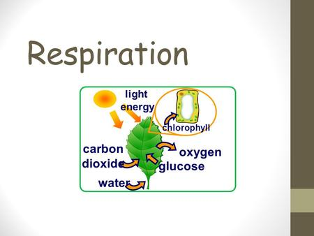 Respiration carbon dioxide water oxygen light energy chlorophyll glucose.