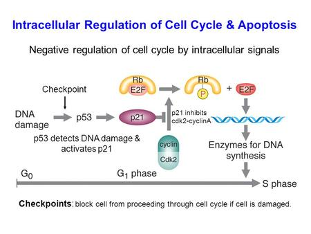 Negative regulation of cell cycle by intracellular signals Checkpoint p53 detects DNA damage & activates p21 p21 inhibits cdk2-cyclinA Intracellular Regulation.