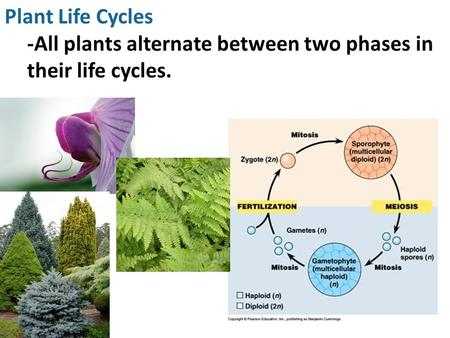 Plant Life Cycles -All plants alternate between two phases in their life cycles.