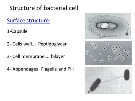 Structure of bacterial cell Surface structure: 1-Capsule 2- Cells wall…. Peptidoglycan 3- Cell membrane…. bilayer 4- Appendages Flagella and Pili.