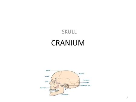 CRANIUM SKULL 1. CERVICAL VERTEBRAE NECK 2 CLAVICLE COLLARBONE 3.