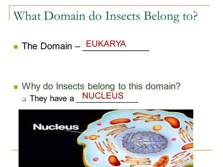 What Domain do Insects Belong to? The Domain – _____________ Why do Insects belong to this domain?  They have a ______________ EUKARYA NUCLEUS.