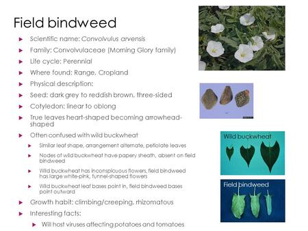 Field bindweed  Scientific name: Convolvulus arvensis  Family: Convolvulaceae (Morning Glory family)  Life cycle: Perennial  Where found: Range, Cropland.