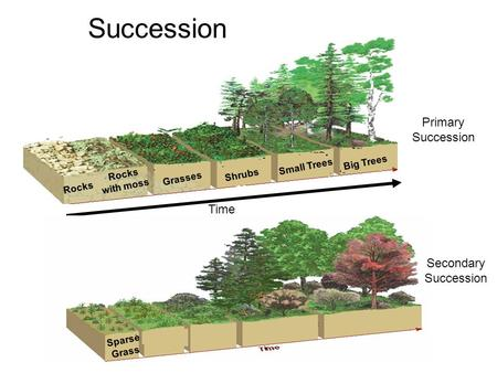 Primary Succession Succession Time Rocks Rocks with moss Grasses Shrubs Small Trees Big Trees Secondary Succession Sparse Grass.