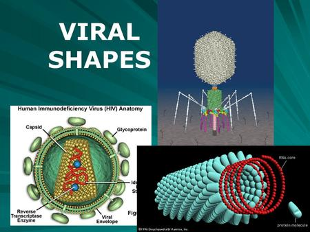 VIRAL SHAPES. VIRUSES There are presently 20 recognized families of viruses that affect humans and/or animals CLASSIFIED BY: –By whether they contain.