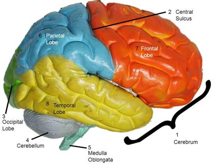 1 2 3 4 5 6 7 8 Cerebrum Central Sulcus Occipital Lobe Cerebellum Medulla Oblongata Parietal Lobe Frontal Lobe Temporal Lobe.
