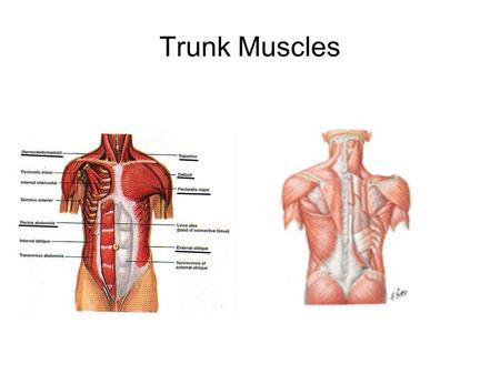Trunk Muscles. Anterior Muscles Name: Pectoralis Major Origin: Sternum, clavicle, & 1 st to 6 th rib Insertion: Proximal humerus Primary action: Adducts.