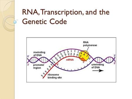 RNA, Transcription, and the Genetic Code. RNA = ribonucleic acid -Nucleic acid similar to DNA but with several differences DNARNA Number of strands21.