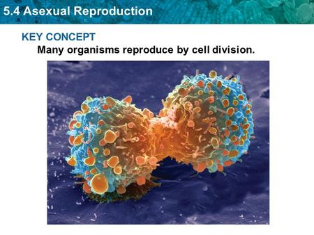 5.4 Asexual Reproduction KEY CONCEPT Many organisms reproduce by cell division.
