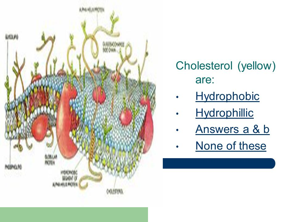 Cholesterol (yellow) are: Hydrophobic Hydrophillic Answers a & b None of these