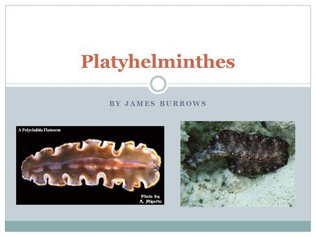 BY JAMES BURROWS Platyhelminthes. Whats a Platyhelminthes? Platyhelminthes is a phyla or category of a species of organisms. These organisms are known.