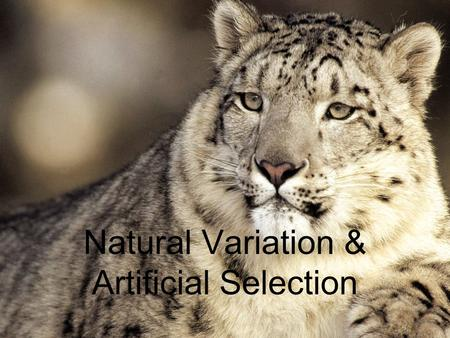 Natural Variation & Artificial Selection. Natural Variation & Artifical Selection Darwin, through many observations, explained evolution by natural variation.