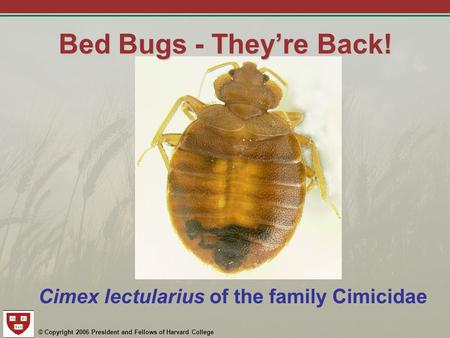 © Copyright 2006 President and Fellows of Harvard College Bed Bugs - They're Back! Cimex lectularius of the family Cimicidae.