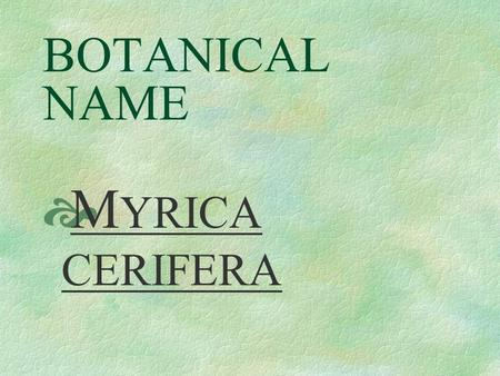 BOTANICAL NAME  M YRICA CERIFERA PRONUNCIATION  mi - RY - ka ser - IF - er - a.