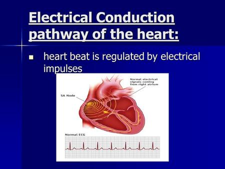 Electrical Conduction pathway of the heart: heart beat is regulated by electrical impulses heart beat is regulated by electrical impulses.