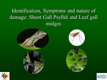Identification, Symptoms and nature of damage: Shoot Gall Psyllid and Leaf gall midges Next.