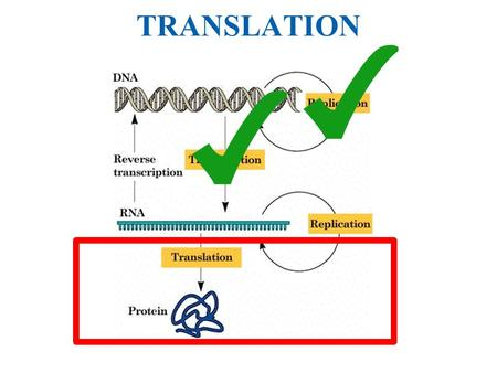 TRANSLATION. Cytoplasm Nucleus DNA Transcription RNA Translation Protein.