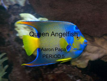 Queen Angelfish Aaron Papa PERIOD 5. SCIENTIFIC CLASSIFICATION COMMON NAME: Queen Angelfish KINGDOM: Animalia PHYLUM: Chordata CLASS: Osteichthyes ORDER: