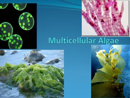 Multicellular (mostly) Algae Classified according to their photosynthetic pigments 3 Groups: 1)red algae 2)brown algae 3)green algae.