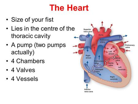 The Heart Size of your fist Lies in the centre of the thoracic cavity A pump (two pumps actually) 4 Chambers 4 Valves 4 Vessels.