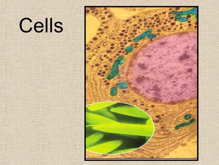 Cells. Historical Perspective Robert Hooke He used a crude light microscope that magnified 30X He discovered cork cells.