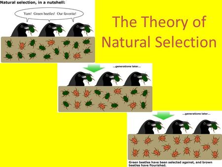 The Theory of Natural Selection Artificial Selection Humans created diversity choosing specific traits to breed – Dogs, Crops, Livestock Humans selected.
