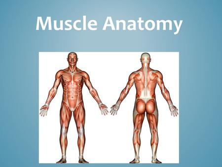 Muscle Anatomy. Three types of muscles 12 basic muscles MUSCLE ANATOMY.