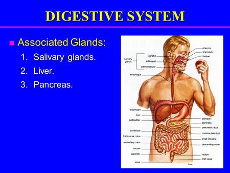 DIGESTIVE SYSTEM Associated Glands: Associated Glands: 1.Salivary glands. 2.Liver. 3.Pancreas.